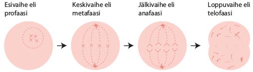 mitoosiiii