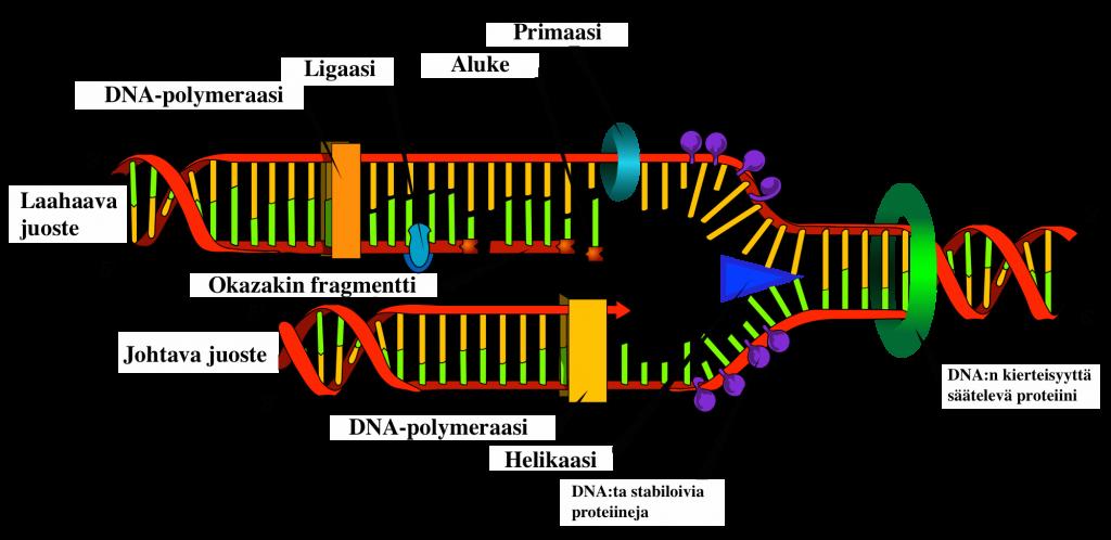 Kuva 1.7. DNA replikaatio